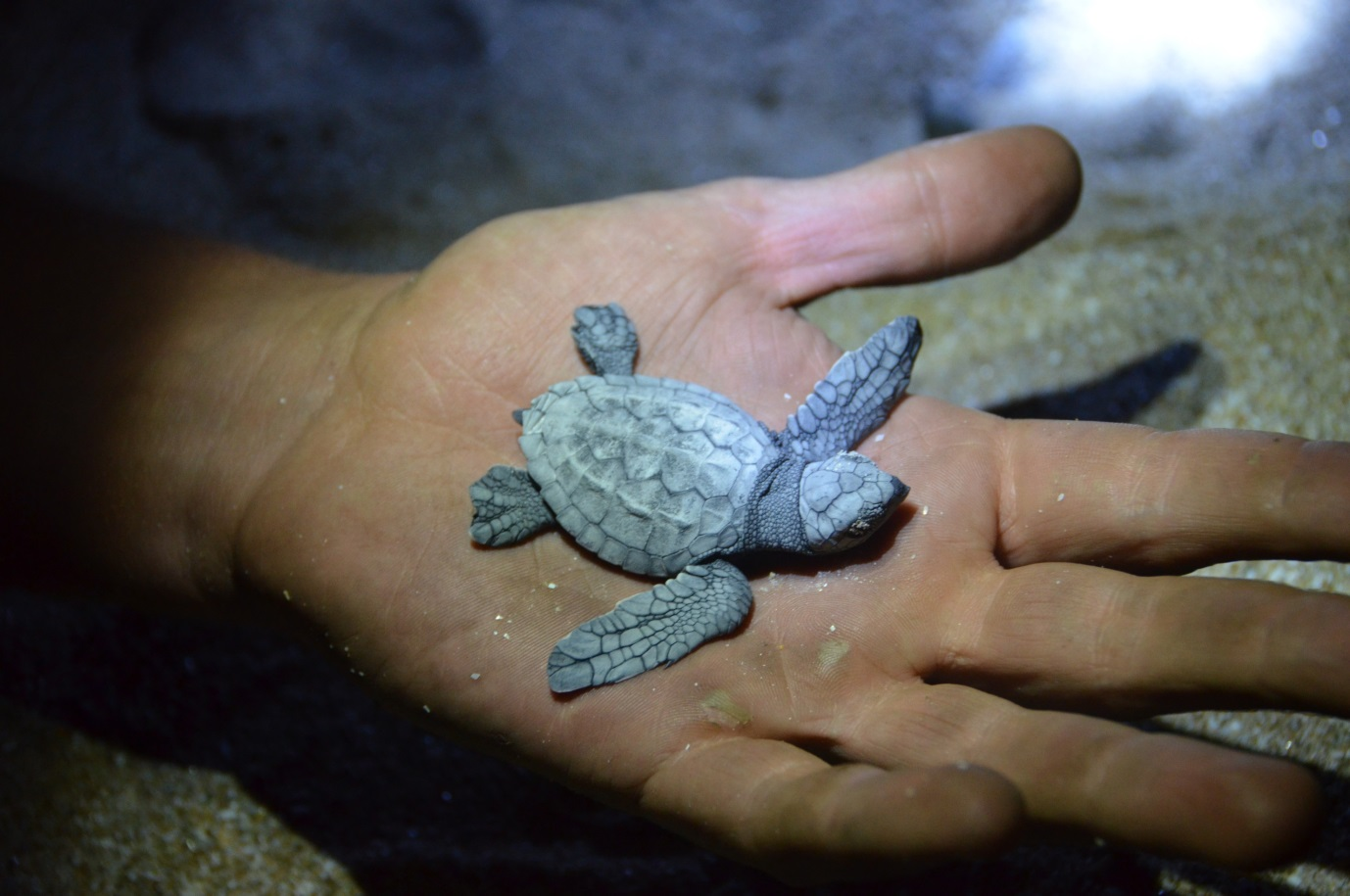 Baby_Turtle_in_palm_of_hand